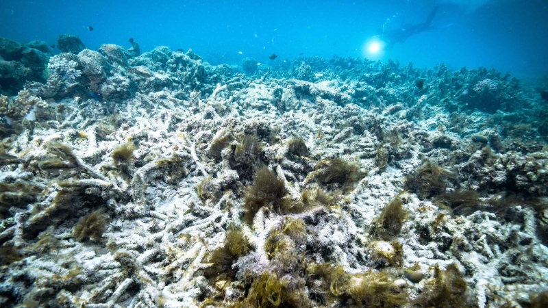 Australia's Great Barrier Reef has likely experienced its most widespread bleaching event on record, according to a U.S. government scientist who monitors the world's coral reefs. (Kyodo News/Getty Images)