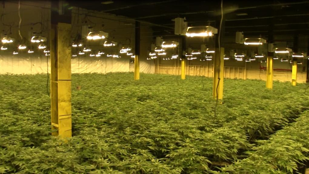 Brantford cannabis seized