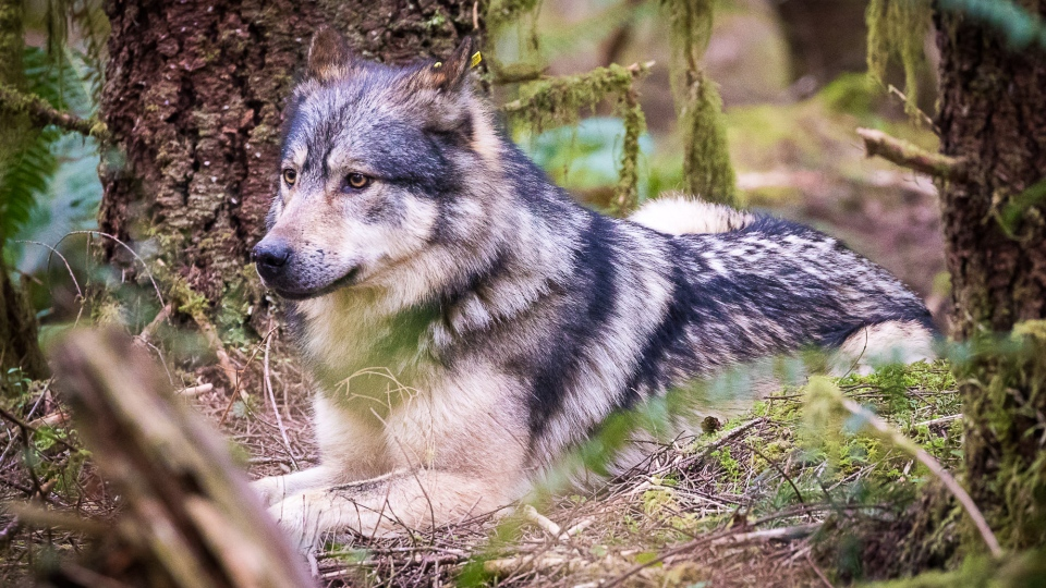 Staqeya was seen on Sunday in the San Juan Valley near Port Renfrew before being fatally shot on Tuesday. (Photo: TJ Watt)