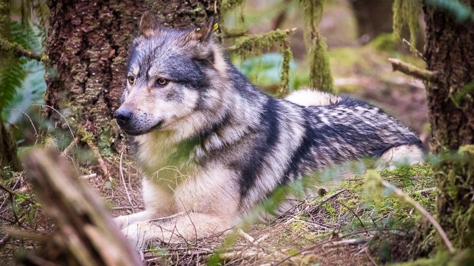 Staqeya the lone wolf