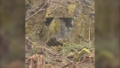A Port Alberni man believes that a logging operation in B.C. may have uncovered a giant carved stone face, similar to those found on Easter Island: (Fred Thompson)
