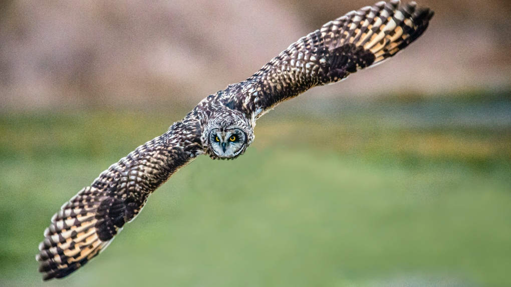 Short-eared owl in Delta
