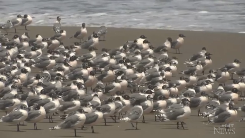 Thousands of Belcher's Gull or Peruvian Gull birds standing on a beach in Lima, Peru on March 25, 2020. (Credit: Associated Press)