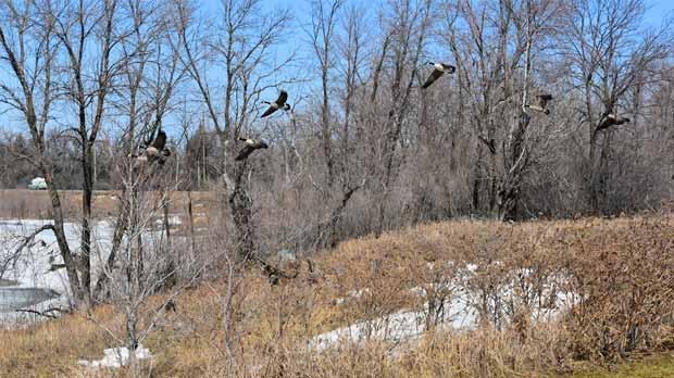 Birds in flight at Maple Grove Park. Photo by Stu Thompson.