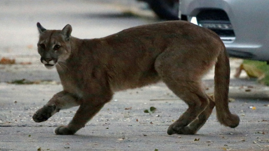 A young puma ventured into the centre of the locked-down centre of the Chilean capital, Santiago. (AFP)
