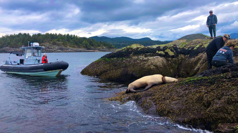 A Stellar sea lion was freed from a plastic packing band that was wound around its neck after a multi-agency rescue effort off the Sunshine Coast. (VancouverPD, Twitter)