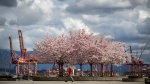 A man walks past cherry blossoms in full bloom on a nearly empty plaza as gantry cranes at the Port of Vancouver are seen in the distance, in downtown Vancouver, on Sunday, March 29, 2020. (Darryl Dyck / THE CANADIAN PRESS)