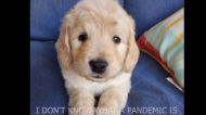 """Cooper the mini-bernedoodle sings """"The Pets Will Thrive"""" in an age of COVID-19. SOURCE Chantal Desjardins Facebook"""