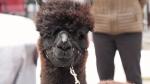 Alpacas greeting people during virus