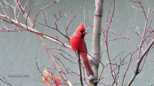 A male Cardinal. (Rose Ricci/CTV Viewer)