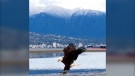 A bald eagle is seen in Vancouver in April, 2020. (Nick Chelliah, submitted through Weather Watch by CTV Vancouver)