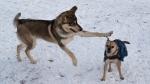 Dogs at a dog park. (Karyn Mulcahy/CTV News Edmonton)