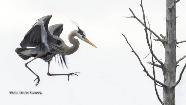 The great blue herons have returned to eastern Ontario to roost in their gigantic nests in dead trees.  This one is coming in for a landing on some dead branches near its nest.  Looks pretty awkward, but is really a very graceful bird. (Bruce Kennedy/CTV Viewer)