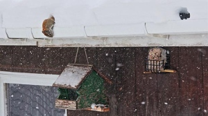 A squirrel using empty rain gutter to get food. Photo by Allan Robertson.