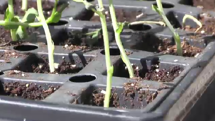 Seedlings started in containers