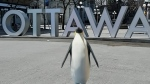 Google's AR allows you to create a 3D emperor penguin and other animals in your space (Josh Pringle/CTV News Ottawa)