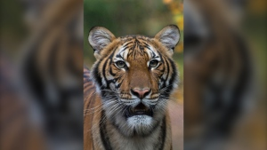 This undated photo provided by the Wildlife Conservation Society shows Nadia, a Malayan tiger at the Bronx Zoo in New York. (Julie Larsen Maher/Wildlife Conservation Society via AP)