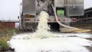 Footage shows a family dairy farm in Varysburg, New York, dumping its milk on April 5, 2020, as processing plants are at capacity. (Credit: Nikki Boxler via Storyful)
