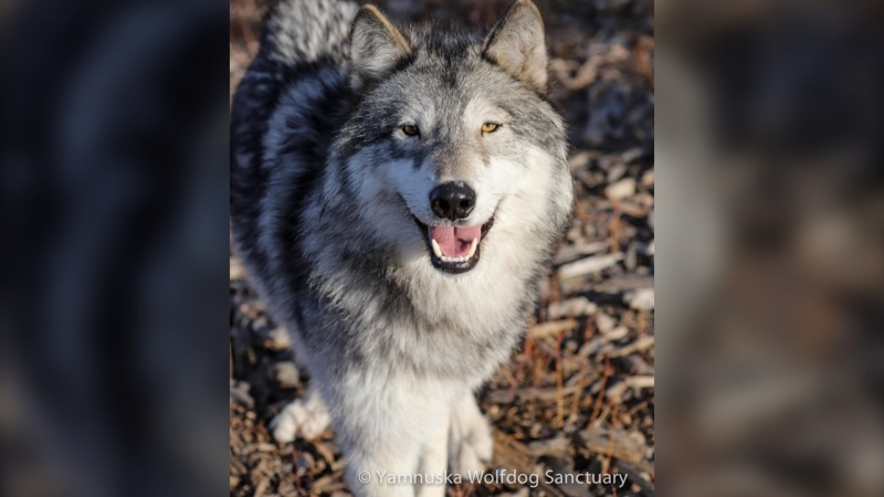 Aspen, one of the wolfdogs being cared for at the Yamnuska Wolfdog Sanctuary east of Cochrane (courtesy: Yamnuska Wolfdog Sanctuary)