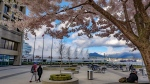 Cherry blossoms in bloom seen near Canada Place. Submitted by Lyndon through Weather Watch by CTV Vancouver.