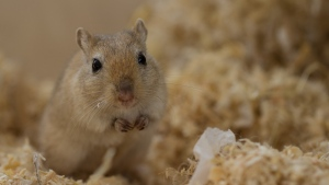 A gerbil is seen in this file image. (Image by Heiko Stein from Pixabay)