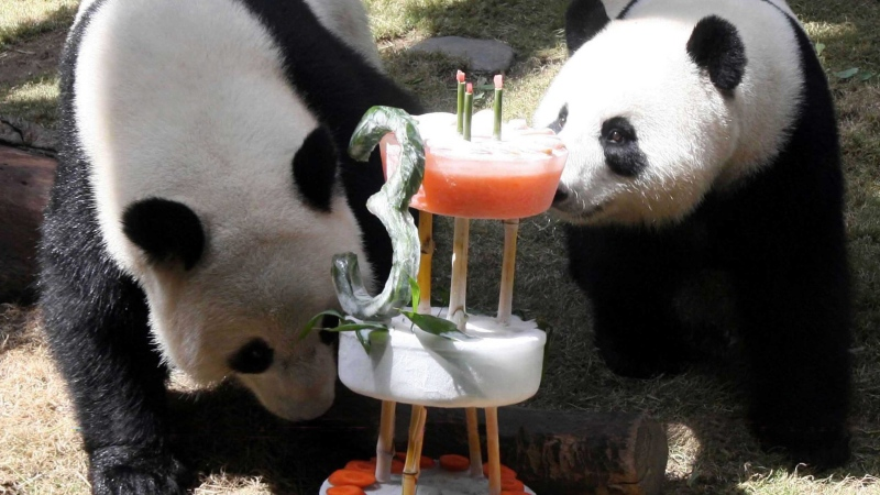 In this photo distributed by the Chinese news agency, Xinhua, giant pandas Le Le, left, and Ying Ying enjoy an ice birthday cake at the Ocean Park in Hong Kong on Tuesday August 12, 2008. Hong Kong's Ocean Park held a party for the giant pandas' third birthday on Tuesday, Xinhua said. (AP Photo/Xinhua, Liu Lianfen)