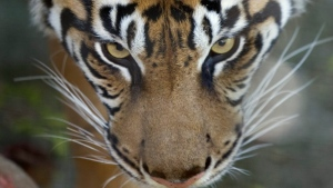 A Sumatran tiger is seen in its pen at the Toronto Zoo in Toronto, Thursday Sept. 21, 2006. The news that a tiger tested positive for COVID-19 at the Bronx Zoo in New York dropped like a bomb at the Toronto Zoo. THE CANADIAN PRESS/Adrian Wyld