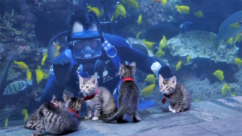 Watch this litter of adorable kittens exploring the Georgia Aquarium closed to visitors due to the COVID-19 pandemic.