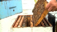 Alberta faces a looming shortage of honeybees this summer. Kevin Green reports