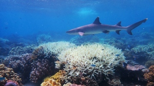 Recent phenomena such as the mass bleaching of the Great Barrier Reef suggest heat-related die-off is already occurring in places. (AFP)