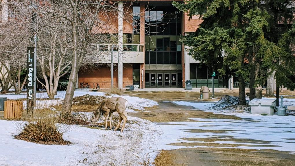 U of A deer