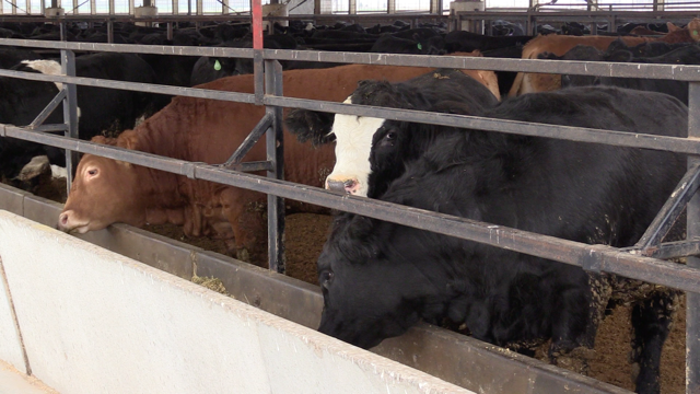Farmers are concerned as beef prices drop.