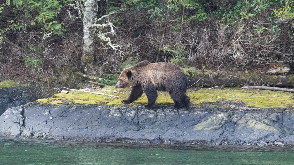The bear known as Mali swam to the remote island from the B.C. mainland and began rummaging through improperly kept trash. (Suzie Hall)