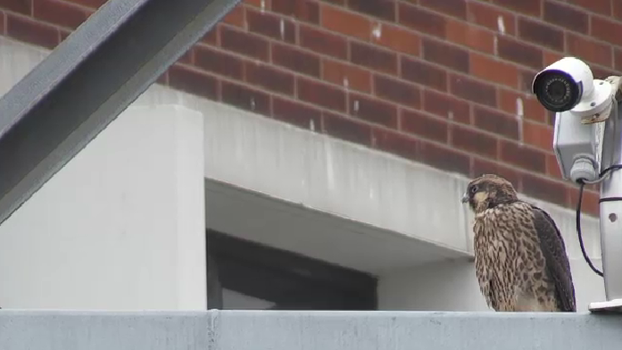 A peregrine falcon perched at CTV
