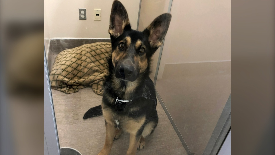 This German shepherd was left tied to a bench at the Calgary Humane Society. (Courtesy Calgary Humane Society)