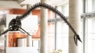 The plesiosaur bust at the University of Alberta, newly named 'Dr. Deeno Hinshaw,' is shown. (University of Alberta)