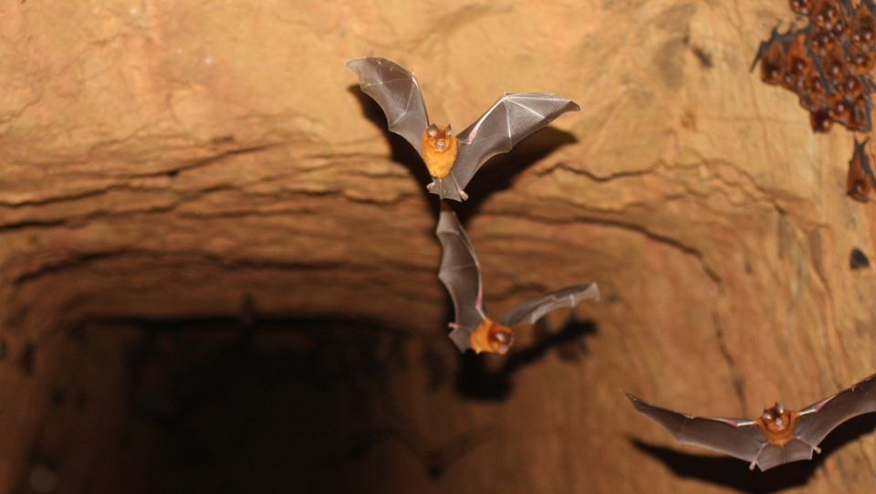These leaf-nosed bats live in an abandoned gold mine in Western Kenya. (Courtesy B.D. Patterson/Field Museum)