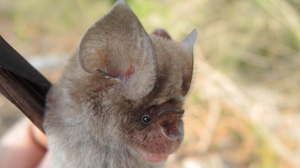 Four new species of leaf-nosed bats have just been discovered. (Courtesy B.D. Patterson/Field Museum)