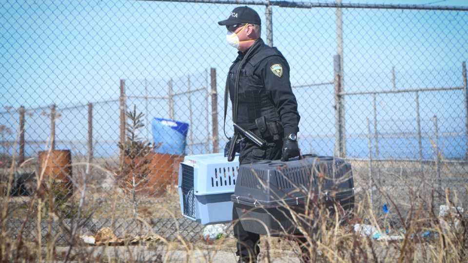 SPCA officers seize dogs from a property in Escuminac, N.B., on April 21, 2020. (Submitted: Diane Doiron)