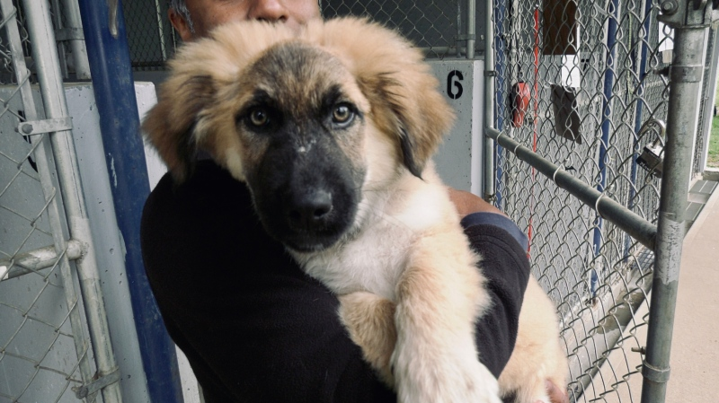 One of six German shepherd-cross puppies that were found in a remote area near Port Alberni earlier this month. (CTV News)