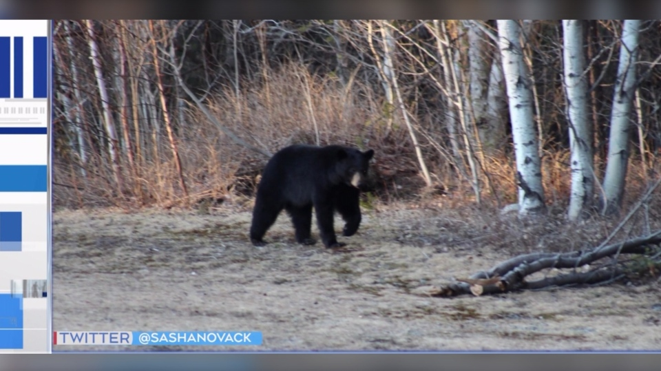 Officials with Sudbury's bear committee say in 2019 there were more than 200 sightings recorded and 51 per cent of those reported were in May and June. (Photo courtesy of Sasha Novak/Twitter Photo)