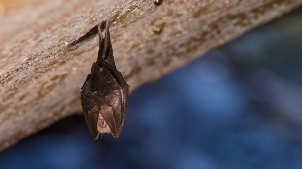 A sleeping horseshoe bat, covered by wings, hangs upside down while hibernating in this file photo.