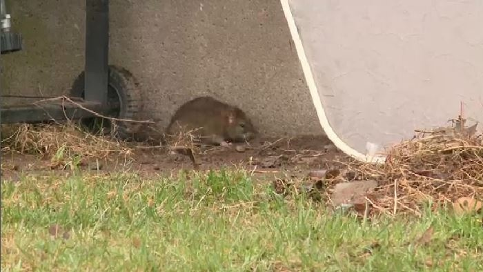 Exterminators say rats are finding new food sources around homes; birdfeeders, compost bins, and even animal waste can attract rodents.
