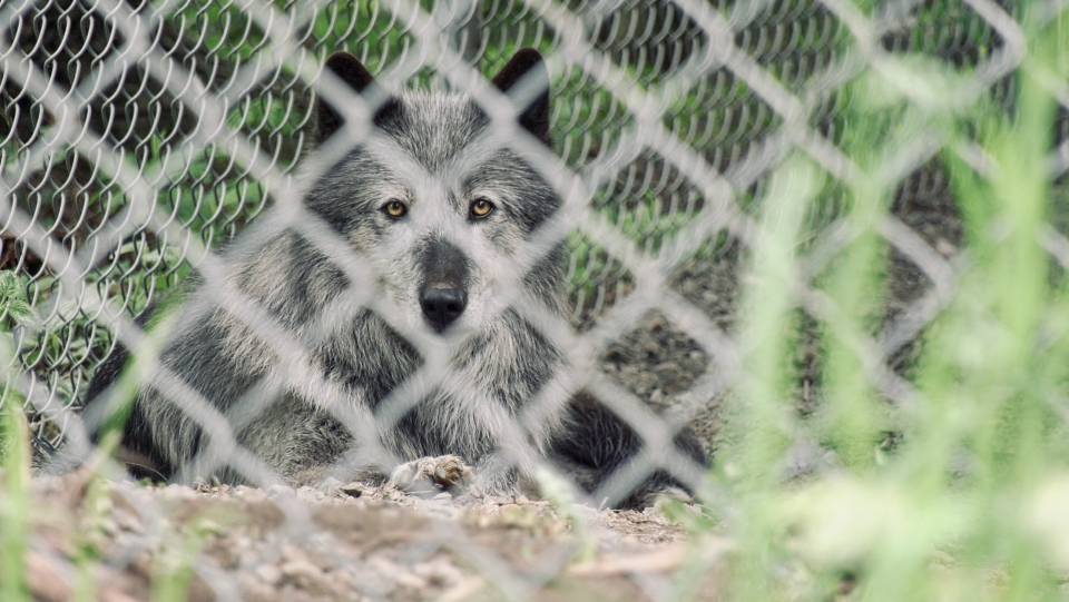 One of Allan's four wolf-dogs is seen sitting in its outdoor enclosure: (CTV News)