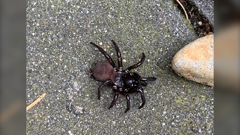 Experts say the spider Krysten Leigh spotted while walking her dog in Langford recently is a Pacific folding trap-door spider. The large arachnids are native to Vancouver Island, but rarely seen by humans. (Krysten Leigh)