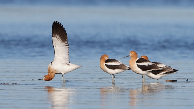 American Avocets are seen at the Pittock Dam in Woodstock, Ont. in April 2020. (Source: Mike Poole)