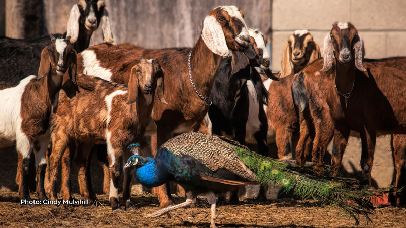 Goats poses for the photo, when the peacock decided to be included.