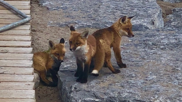 Don T Feed The Baby Foxes Now Running Around Toronto Officials Plead Ctv News