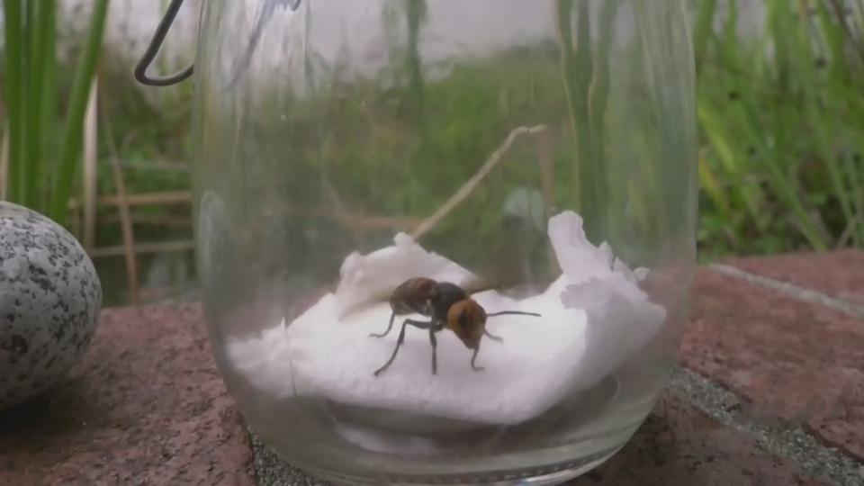 Island beekeepers on alert for 'Murder Hornets'