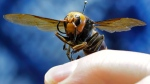 An Asian giant hornet from Japan is held on a pin by Sven Spichiger, an entomologist with the Washington state Dept. of Agriculture, Monday, May 4, 2020, in Olympia, Wash. (AP / Ted S. Warren)